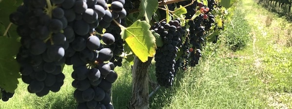 Red Wine Grapes | Top Gun Tours